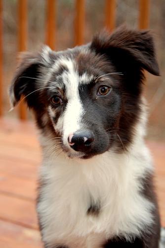 Avstralski ovčar - Page 40 Australian-shepherd-dog